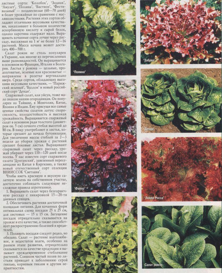 Салат спаржевый выращивание из семян 41