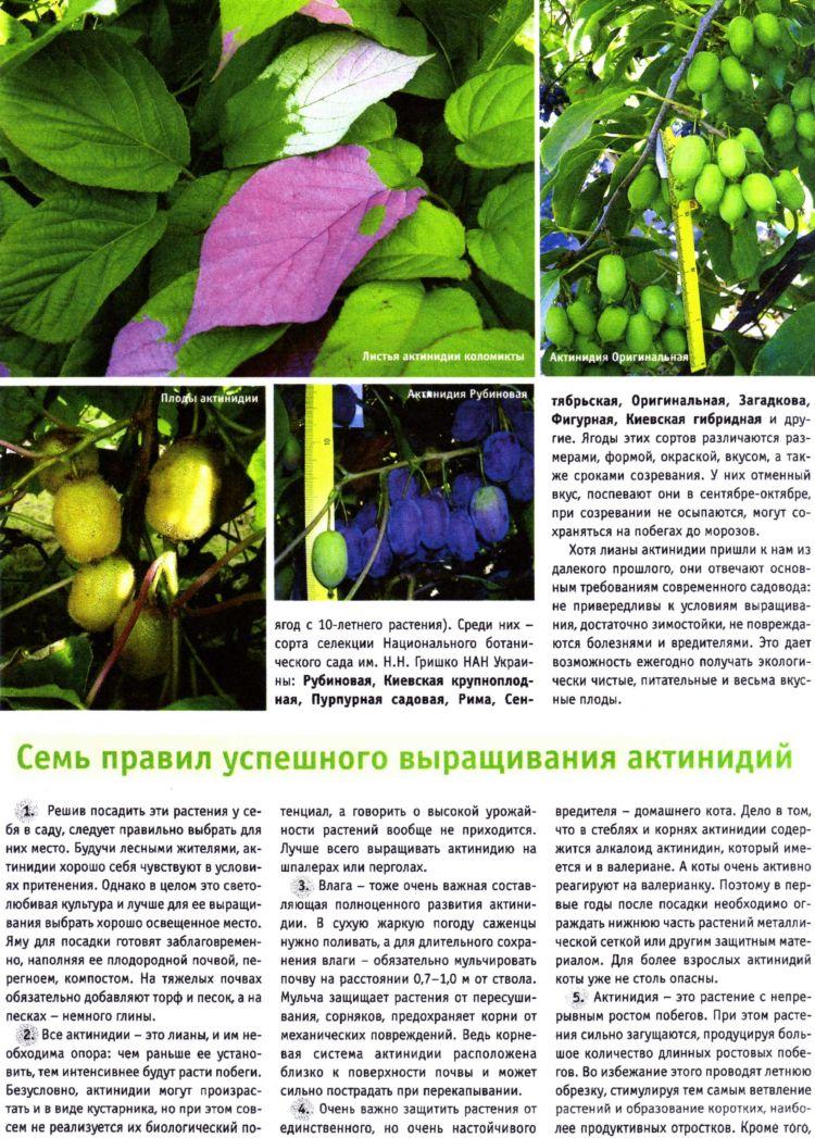 Актинидия выращивание и уход в сибири 47