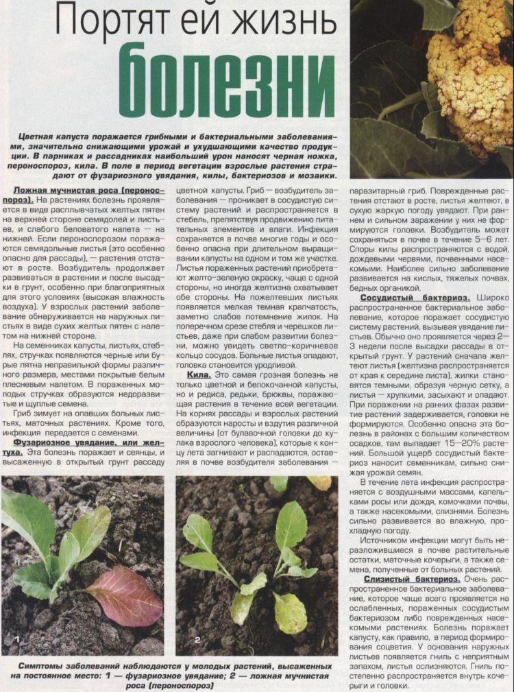 Почему желтеют листья у рассады капусты
